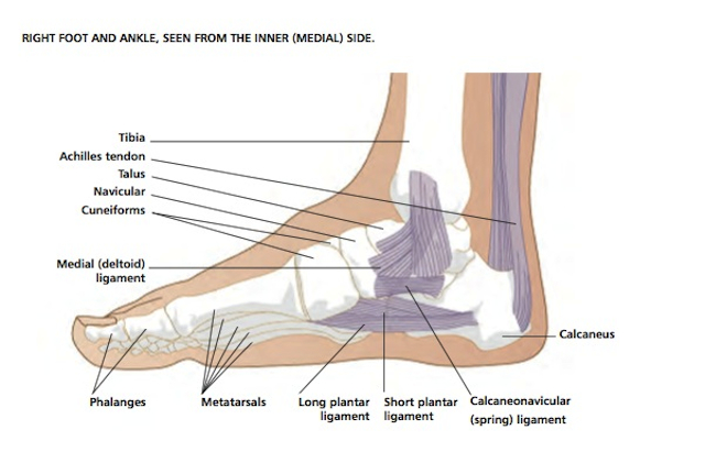 Diagram Of The Foot And Ankle Smartdraw Diagrams