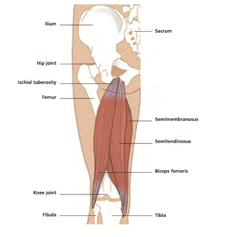Vivian Grisogono - ABOUT THE HAMSTRINGS