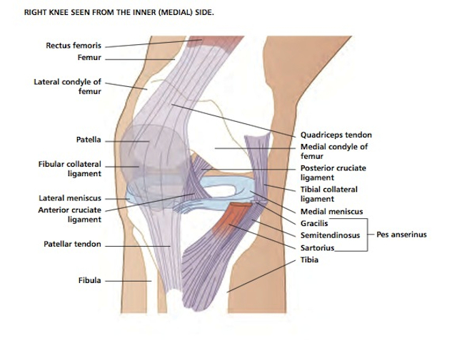 Vivian Grisogono - ABOUT THE KNEE on knee injuries, knee schematic, knee articular cartilage, medial collateral ligament, knee brace patellar tendon strap, knee cap popped out of place, knee bones, knee arthritis symptoms, medial meniscus, knee and leg tendons, sacroiliac joint, knee pain, posterior cruciate ligament, hinge joint, knee patella, knee drawing, knee exercises, anterior cruciate ligament injury, knee high heels, knee biology, knee osteoarthritis, knee flexion and extension, synovial joint, knee bursa, knee model, knee movements, knee arthroscopy, knee structure, knee outline, anterior cruciate ligament,