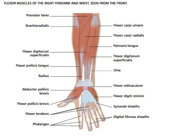 Forearm And Hand Bones Diagram - Block And Schematic Diagrams •