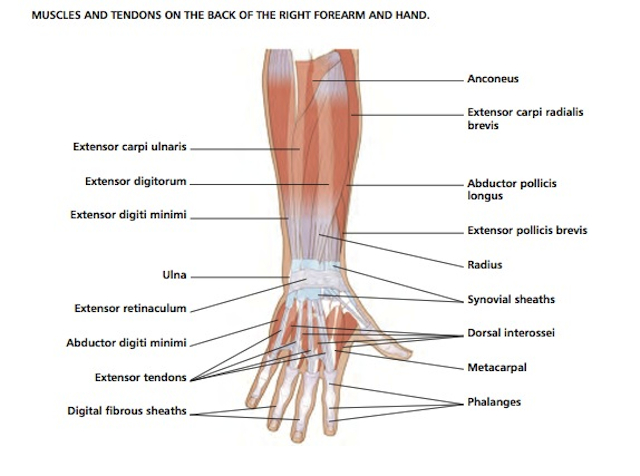 Diagram Of Wrist Joint - Trusted Wiring Diagram •