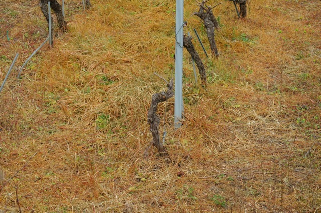 Herbicide among the vines. Photo Vivian Grisogono